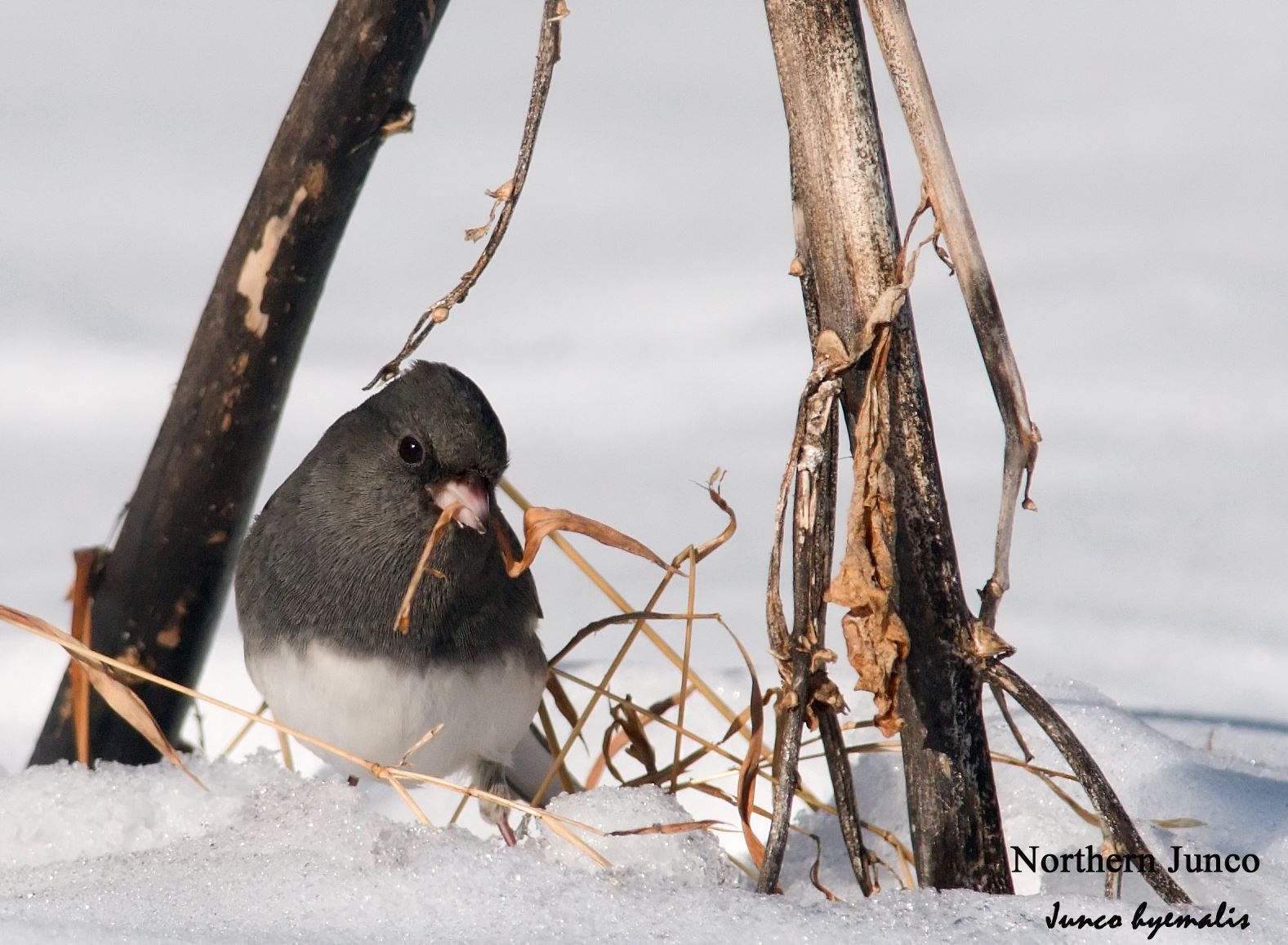 Northern Junco