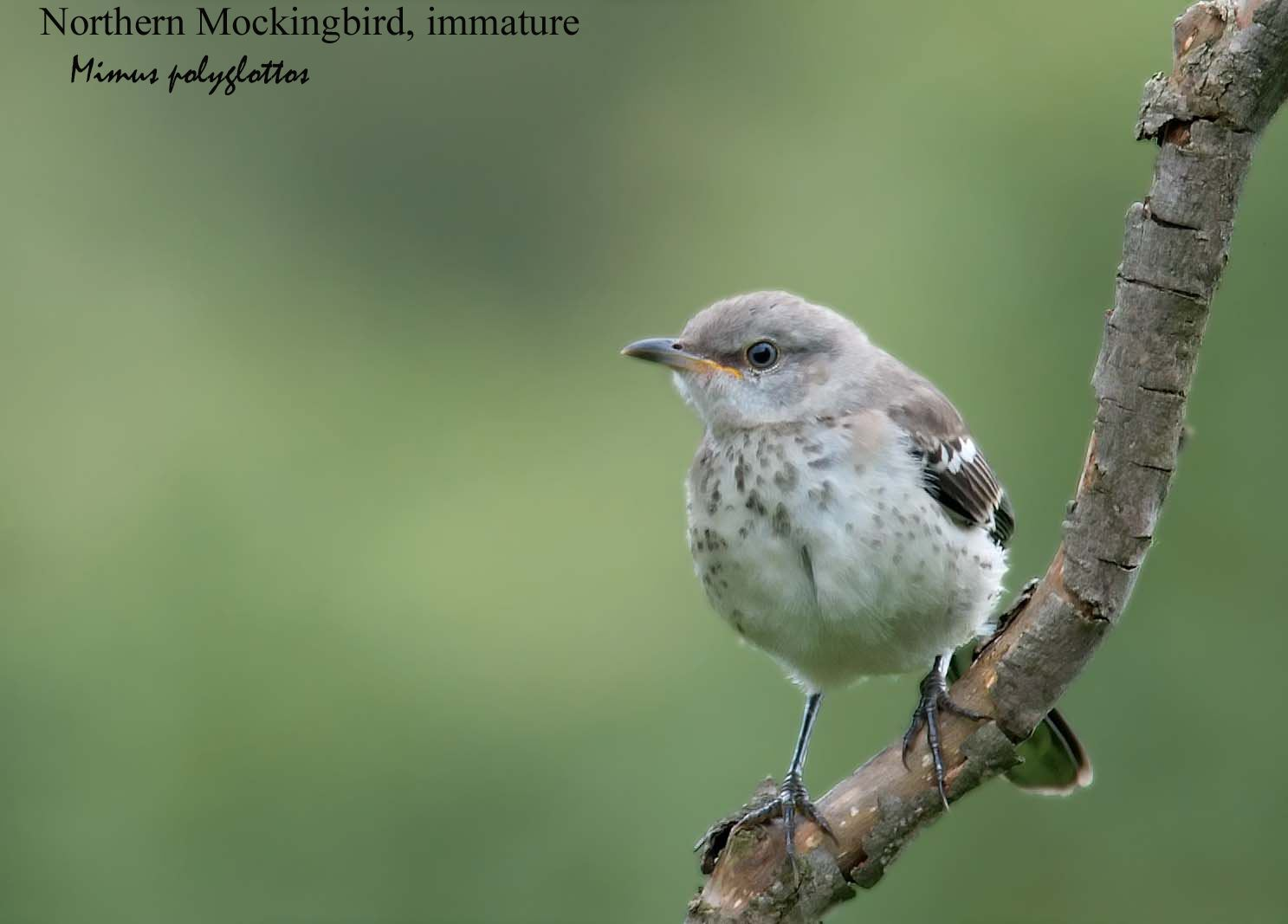 Northern Mockingbird - 1