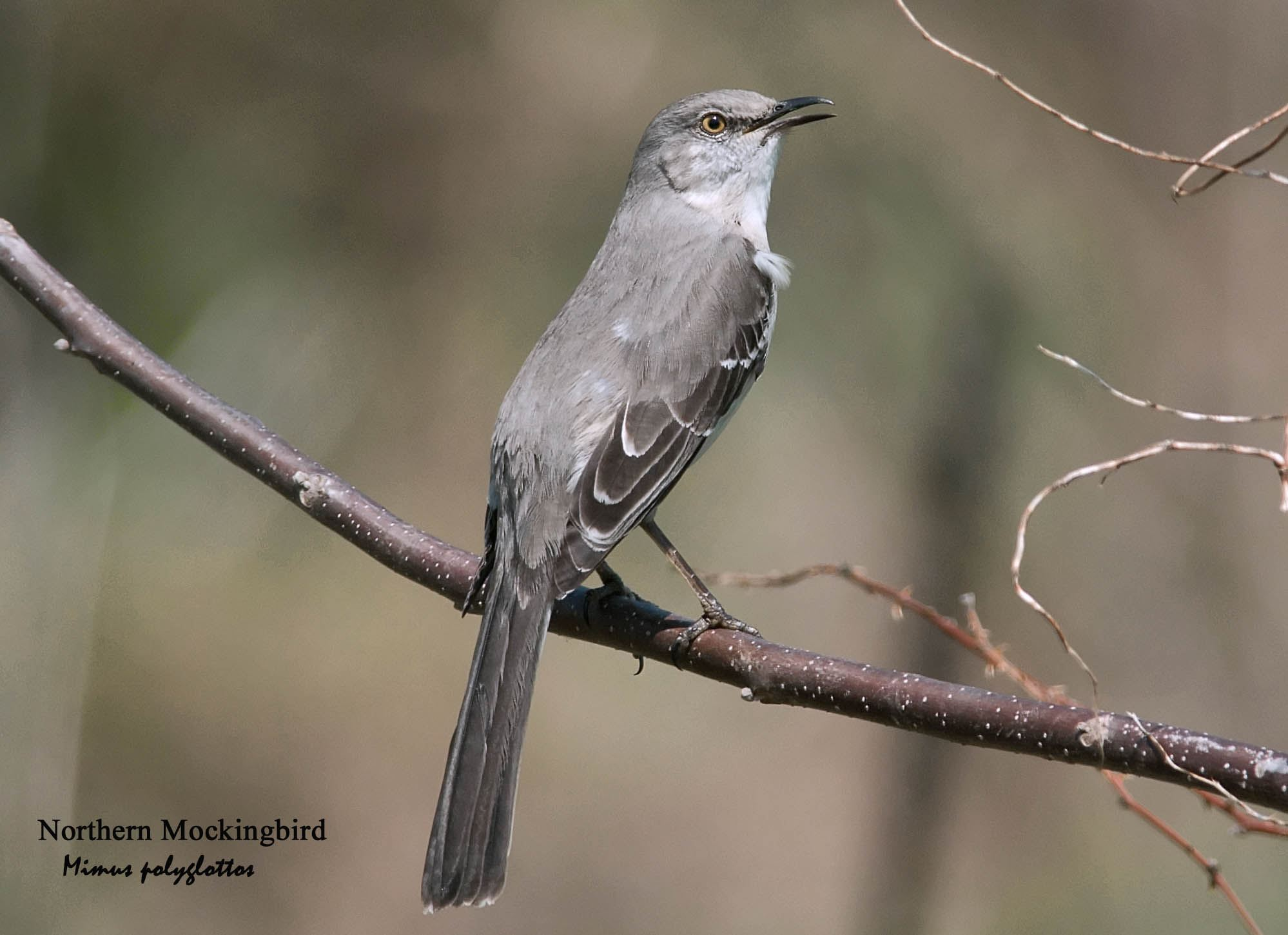 Northern Mockingbird - 2
