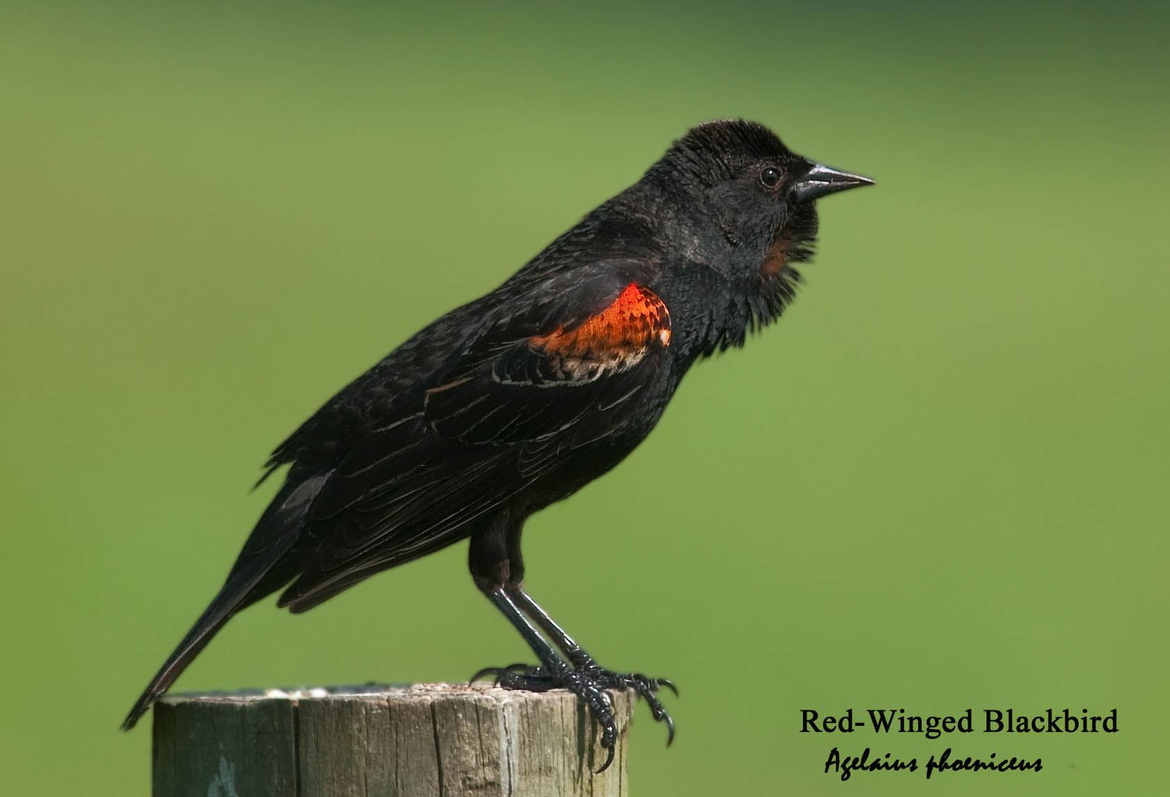 Red-Winged Blackbird - 1
