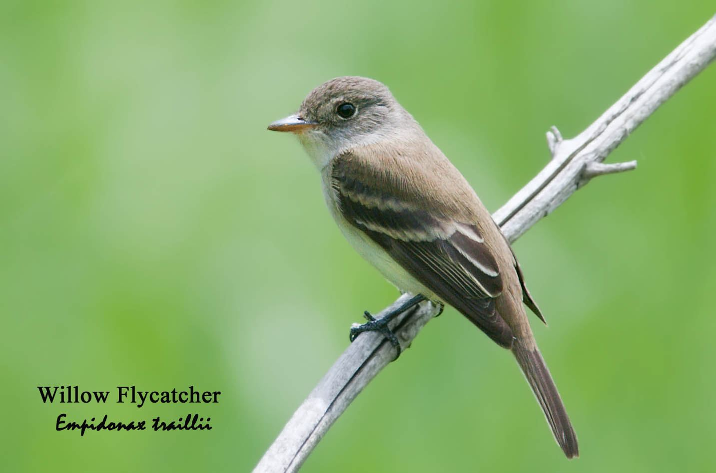 Willow Flycatcher - 1